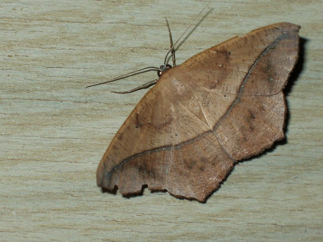 dead leaf moth flickr photo