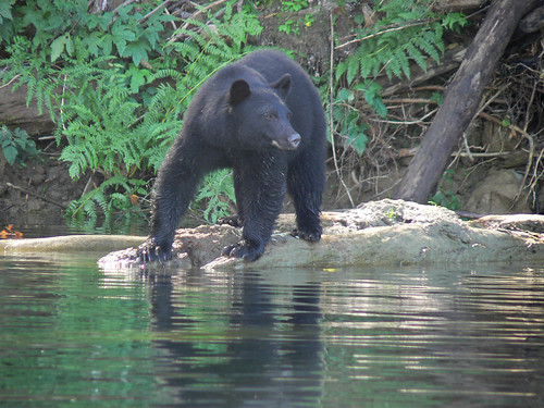 Black Bear on the Nitinat River, Fishing
