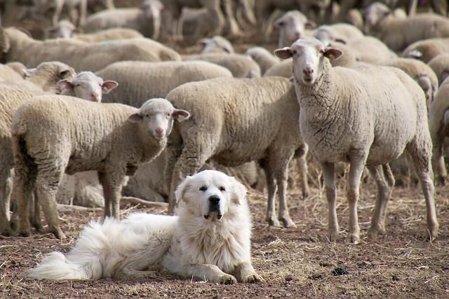 Sheep Like Dog
