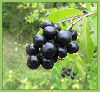Black berry - Baie noire