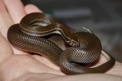 Striped House Snake