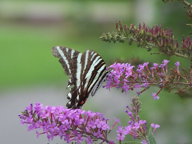 Butterflies and other pollinators are attracted to the many flowers.