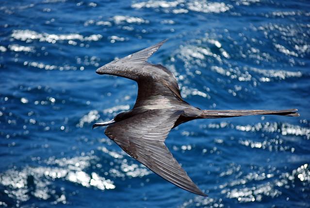 Fregata volando entre las islas Santiago y Bartolome. Islas Galápagos