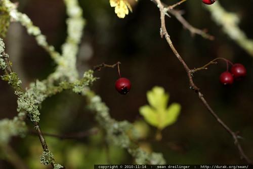 hawthorn berries & lichen on hawthorn twigs