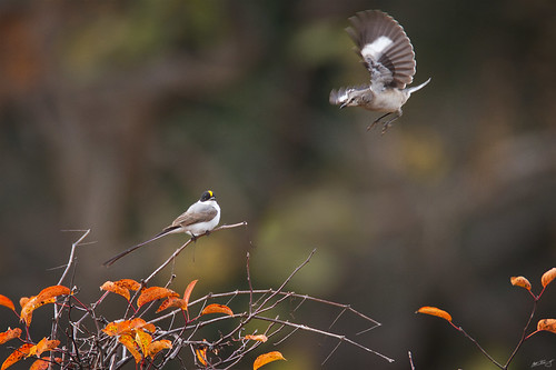 nature birds canon wildlife 7d vagrant flycatcher wildbirds 600mm tyrannussavana forktailedflycatcher