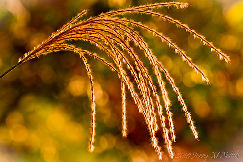 macro grass yellow canon garden gold bokeh 7d 100views ornamental tamron 90mm flickraward 50comments afhht flickraward5 mygearandmepremium