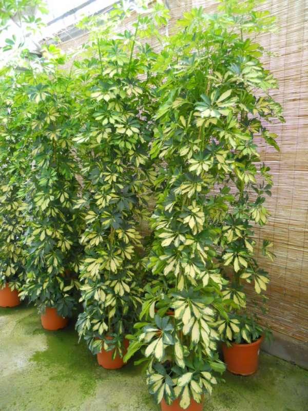 Schefflera arboricola 'Gold Capella' v 1