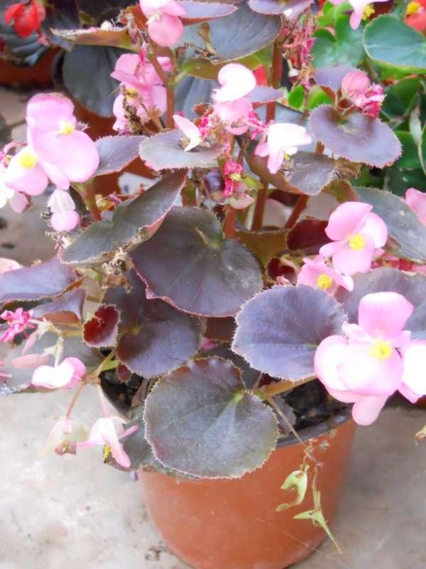 Begonia semperflorens v 1