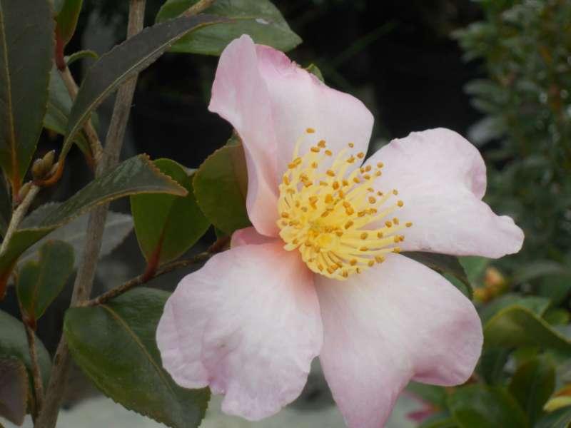 Camellia sasanqua 'Cleopatra' 1