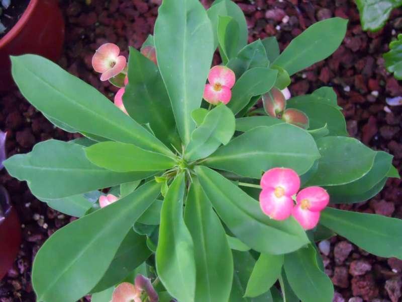 Euphorbia milii 1
