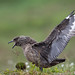 Small photo of Grote jager / Stercorarius skua / Great skua