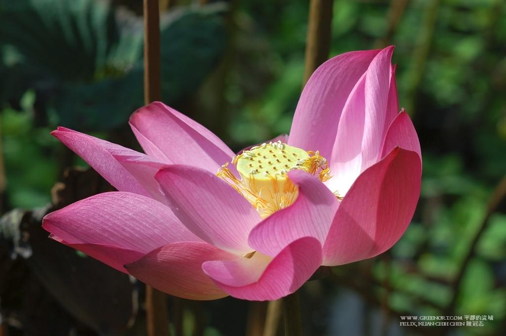 植物攝影: 2010 台北植物園荷花季尾聲 (Plant Photography Botanical Garden Lotus Flower Season)