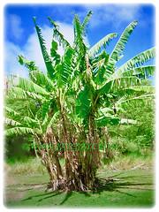 Young plant of Musa acuminata (Dwarf Cavendish Banana, Ornamental Banana, Pisang Serendah) with rather large green foliage, 6 July 2017