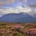 合歡山北峰●紅毛杜鵑日落夕彩   Rhododendron rubropilosum Sunset