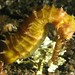 Spiny Seahorse - Photo (c) prilfish, some rights reserved (CC BY)