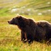 katmai bear by PamLink