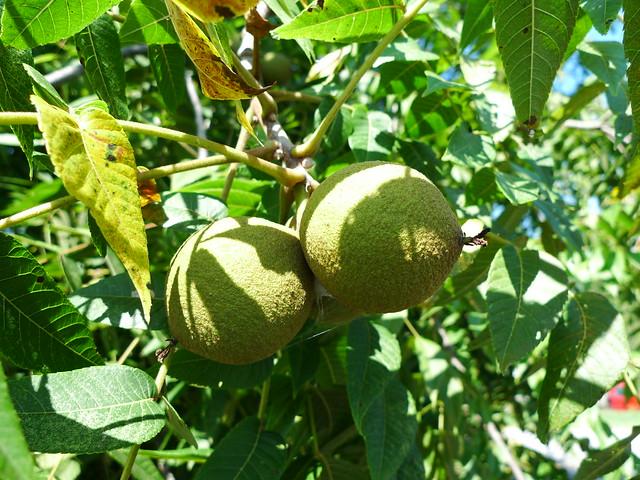 Cluster of Black Walnut fruit