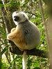 Diademed Sifaka - Photo (c) copepodo, some rights reserved (CC BY-NC-ND)