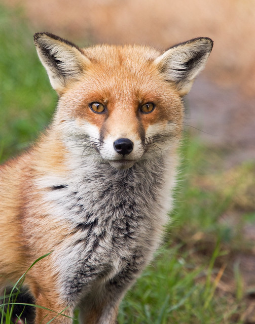 Red foxes in Australia