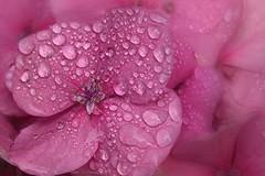 gotas sobre flor