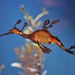 Weedy Sea Dragon - Scripps Aquarium, La Jolla by ssilberman
