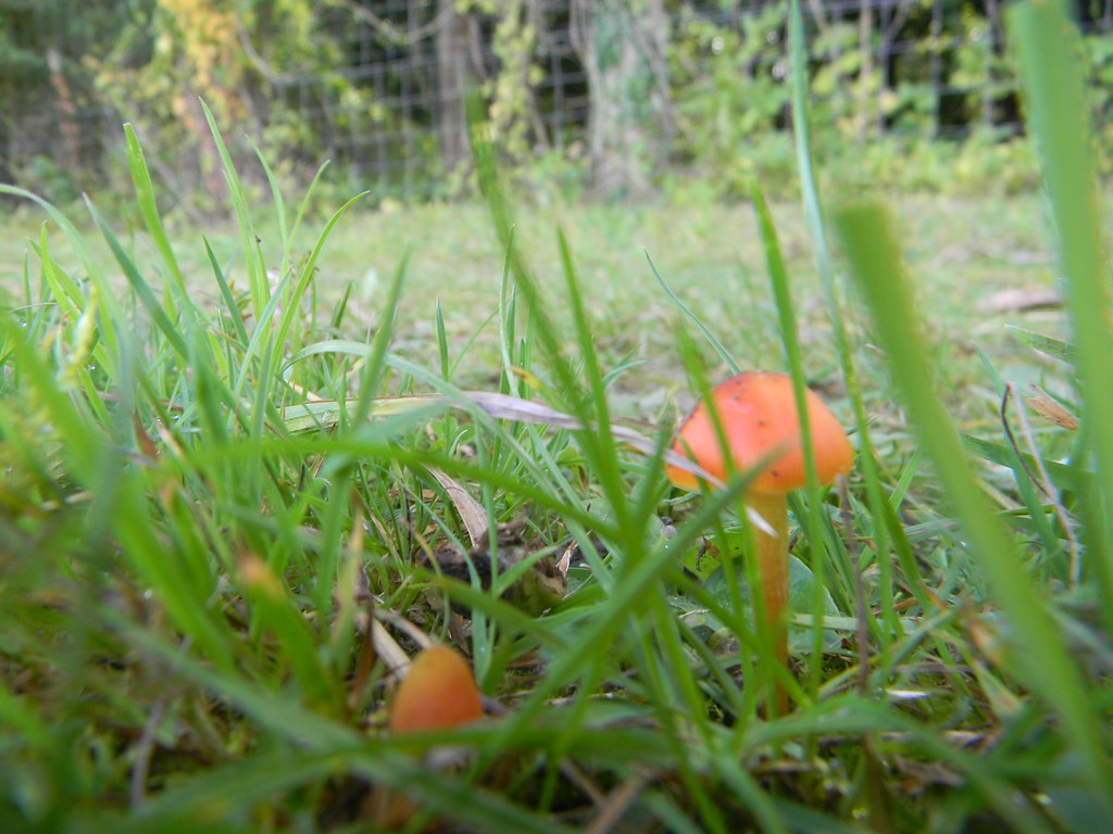 Waxcap Effingham Junction to Westhumble