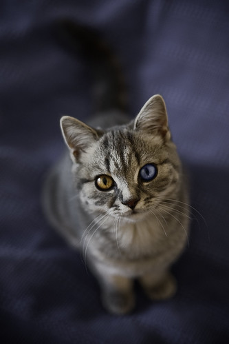 odd-eyed cutie
