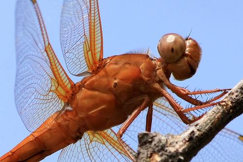 texas dragonflies grapevine neonskimmer libellulacroceipennis beautifulworldchallenges