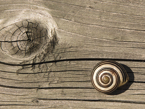 Snail in my backyard, spiral lines of the snail, camouflage, knot wood texture