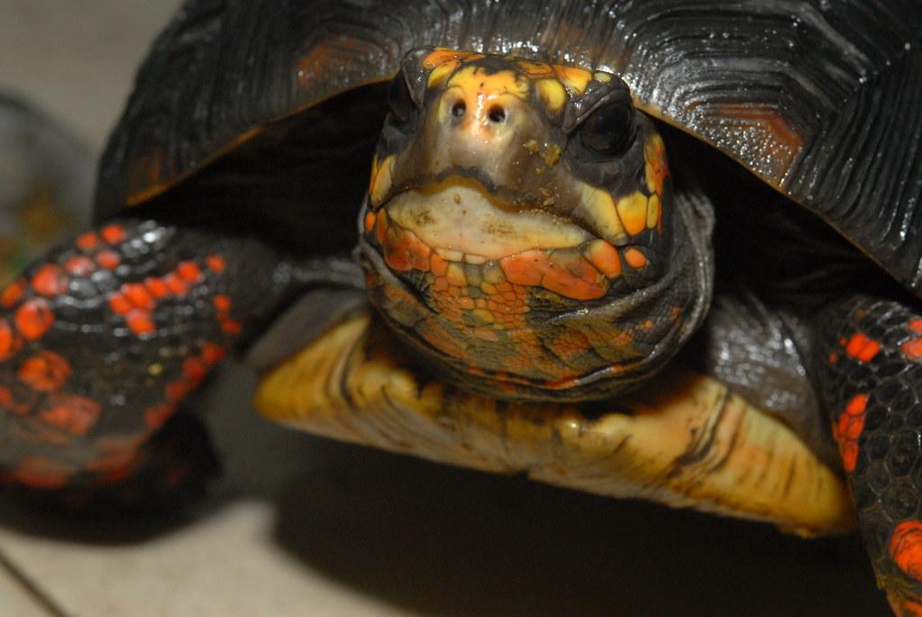 Tortuga de patas rojas - Photo (c) LiChieh Pan, algunos derechos reservados (CC BY-NC-SA)
