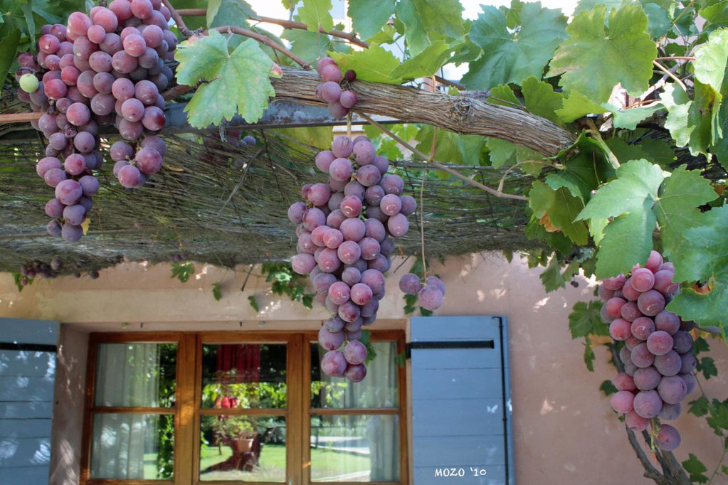 Grapes of Provence