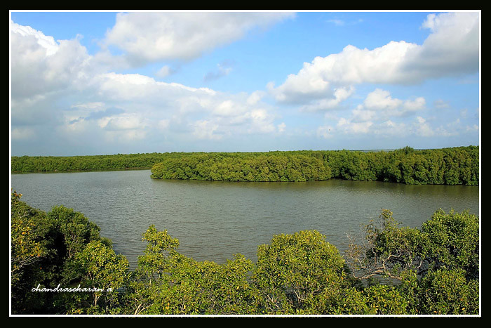 847 muthupet mangroves