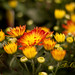 Fall Flowers by RedHatGal: Barbara Butler/FireCreek Photography