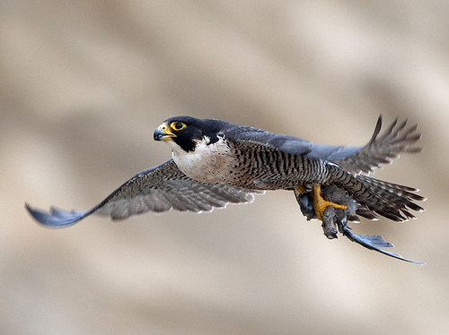 Peregrine Falcon with Prey Bird
