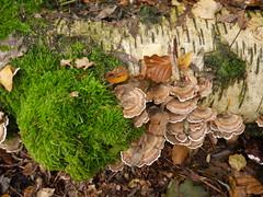 flower(0.0), soil(0.0), oyster mushroom(0.0), autumn(0.0), leaf(1.0), tree(1.0), medicinal mushroom(1.0), mushroom(1.0), flora(1.0), fungus(1.0), agaricomycetes(1.0), hen-of-the-wood(1.0), edible mushroom(1.0),