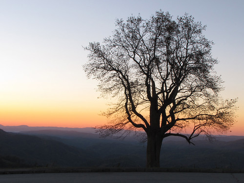 tree silhouette northcarolina liriodendrontulipifera blueridgeparkway tulippoplar liriodendron magnoliaceae westernnorthcarolina southernappalachians ccbyncsa grandviewoverlook canonpowershotsx10is