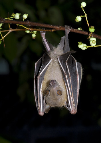 Lesser dog-faced fruit bat (Cynopterus brachyotis)