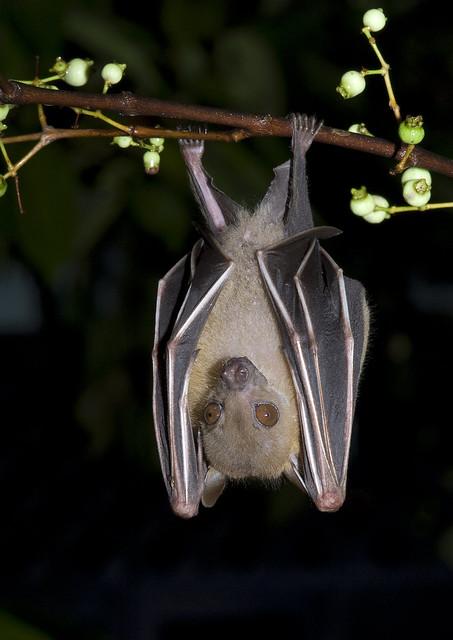 Lesser dog-faced fruit bat (Cynopterus brachyotis)