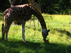 okapi(0.0), animal(1.0), giraffe(1.0), fauna(1.0), giraffidae(1.0), savanna(1.0), wildlife(1.0),