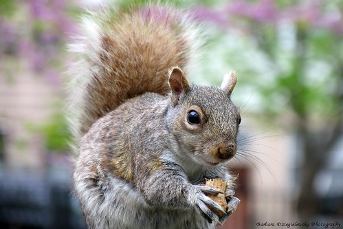 Eastern Gray Squirrel, Wiewiorka Szara
