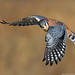 American Kestrel II by Nature's Photo Adventures - David G Hemmings