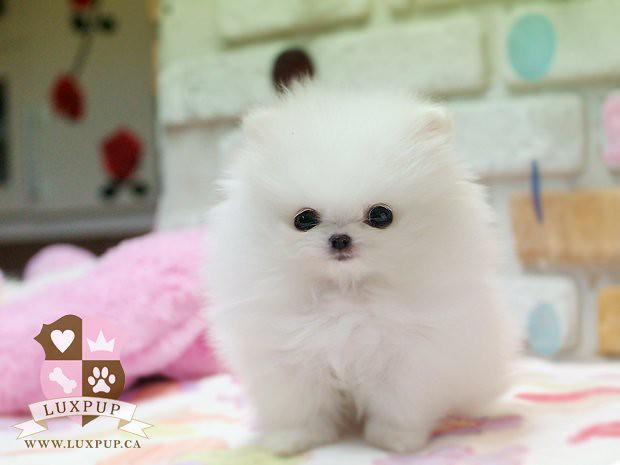 teacup white pomeranian bringing the cutest and the tiniest puppies to ...