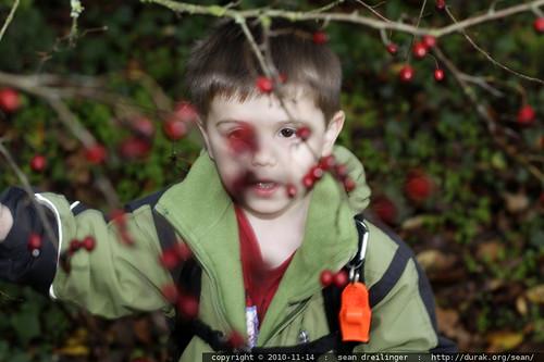 picking hawthorn berries