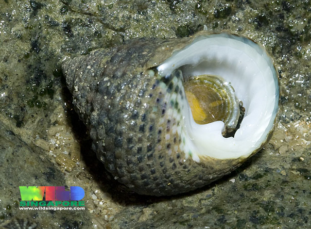 Toothed top shell snail (Monodonta labio)