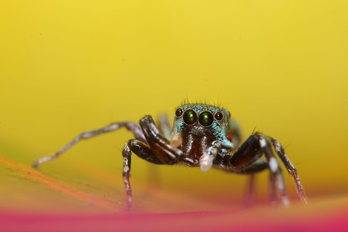 A colorful cute jumping spider.
