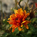 Flor en maceta al amanecer, con algo de rocío (14-11-2010)
