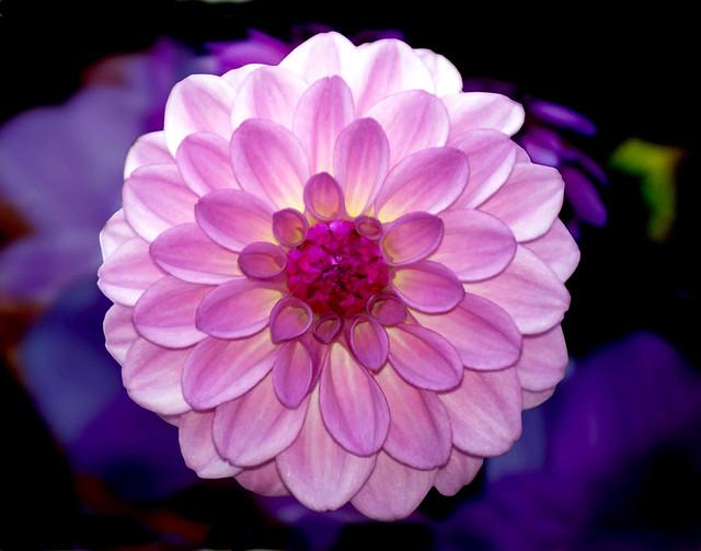 red violet flower   Flickr - Photo Sharing!