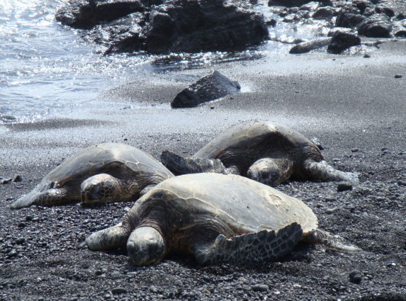 Turtles on Puna...