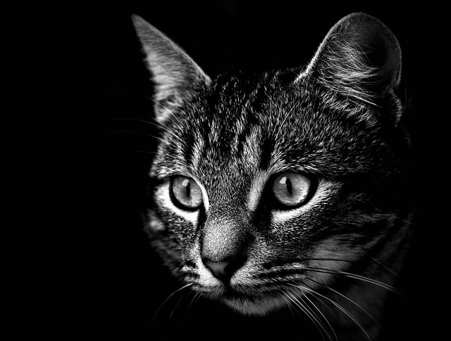 Cat, black and white