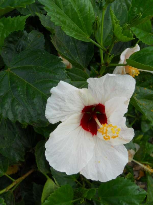 Hibiscus rosa sinensis 'Casablanca' v 5